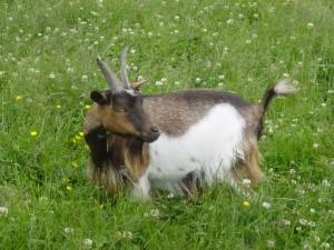 Goat for sale 009 (Custom)