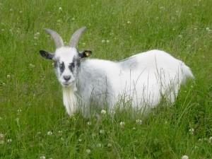 Goat for sale 016 (Custom)