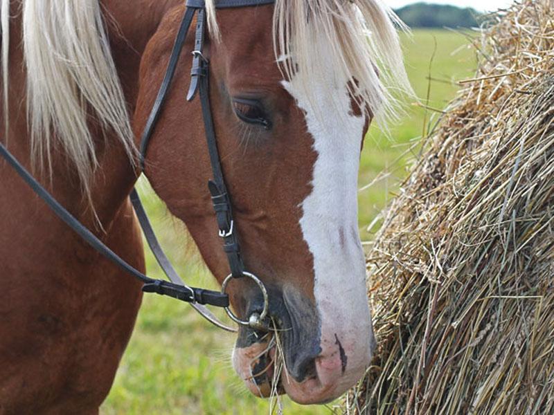 horse-feed-crop